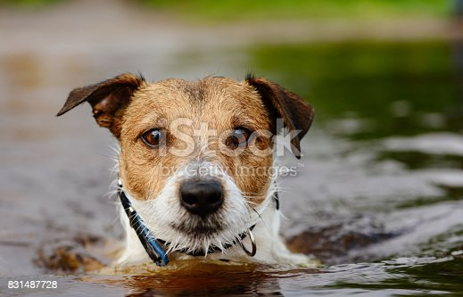 istock Cute dog swims in water close up shot 831487728