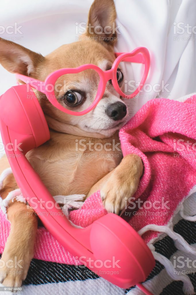 Must see Chihuahua Canine Adorable Dog - cute-dog-talks-on-phone-picture-id915414450  Collection_547590  .com/photos/cute-dog-talks-on-phone-picture-id915414450