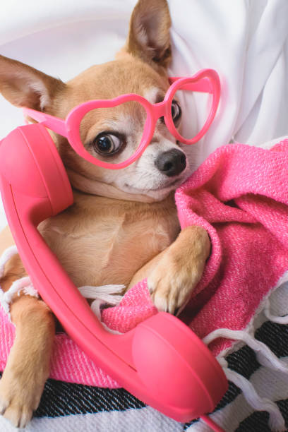 Cute Dog Talks On Phone This image is a chihuahua talking on a pink phone. He's wearing pink heart glasses.  He's smiling at the viewer. animal valentine stock pictures, royalty-free photos & images