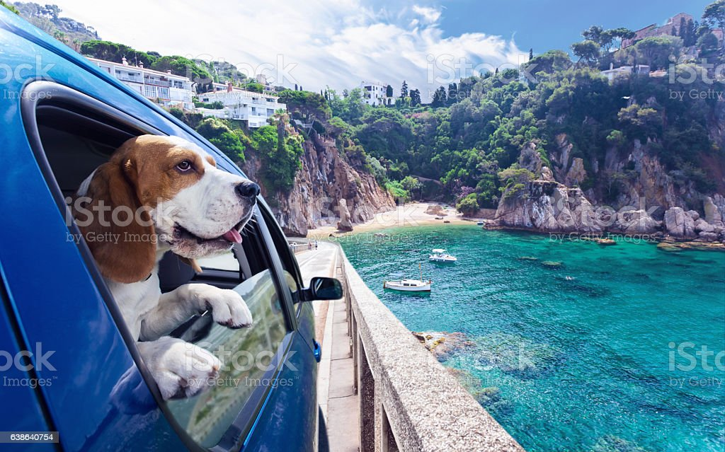 Cute dog travels in car to the sea stock photo
