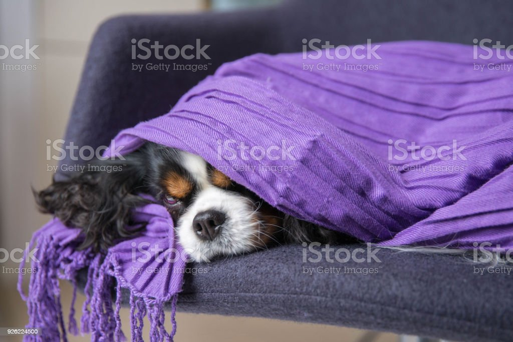 Top Spaniel Canine Adorable Dog - cute-dog-under-the-warm-blanket-picture-id926224500  Snapshot_514433  .com/photos/cute-dog-under-the-warm-blanket-picture-id926224500