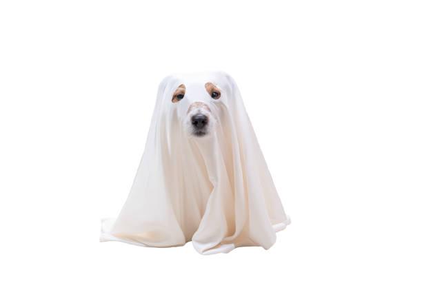 netter hund unter weißer decke als kostüm von halloween geist - geist kostüm stock-fotos und bilder