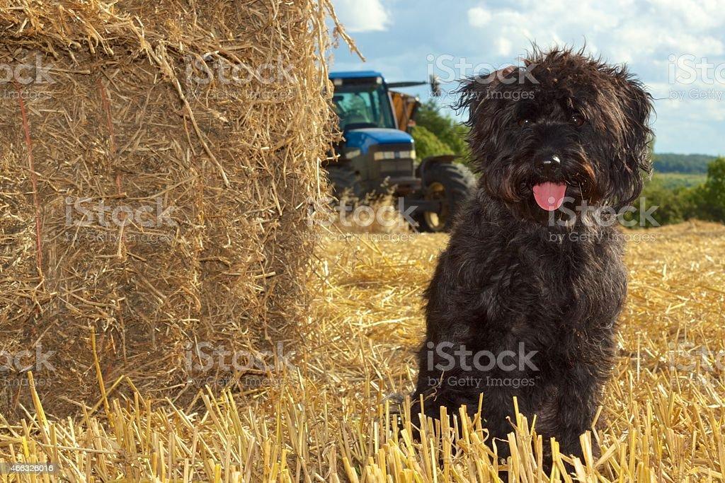 Cute Dog Walk stock photo