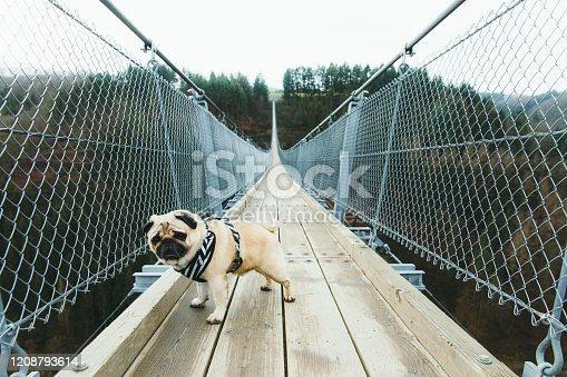 Young small beautiful dog - pug breed hiking on the big and beautiful suspension bridge in Germany