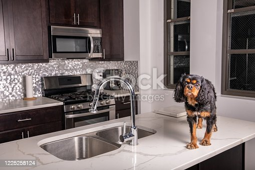 A cute dog being bad, walking on the counter in a modern kitchen.