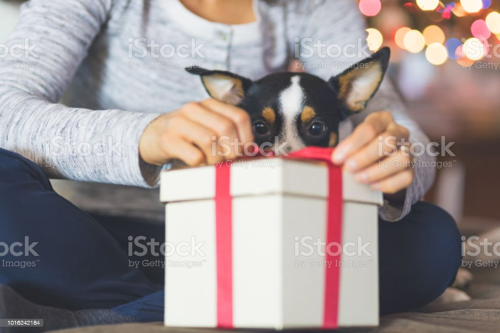 A cute dog watches while his owner opens a Christmas present by the tree - Foto stock royalty-free di Adulto