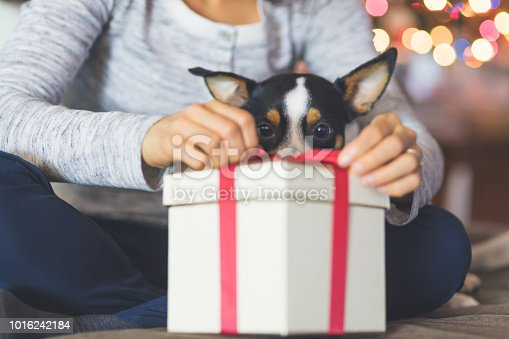 A young woman opens a Christmas present while her adorable little dog sits in her lap and watches her open. The gift is in the foreground. There lights flickering on the tree in the background.