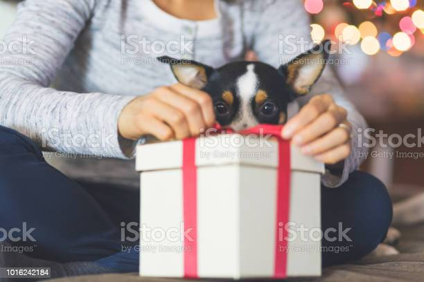 Cute dog watches while his owner opens a christmas present by the picture id1016242184?b=1&k=6&m=1016242184&s=612x612&h=9laubsk244oqvvhbyfzbmrscuywef9lwiyaidasjjqa=