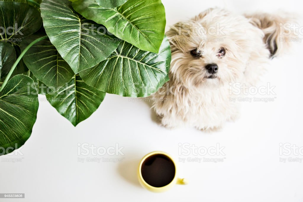 A cute dog watching at you sitting next to a cup of coffee and a plant. stock photo