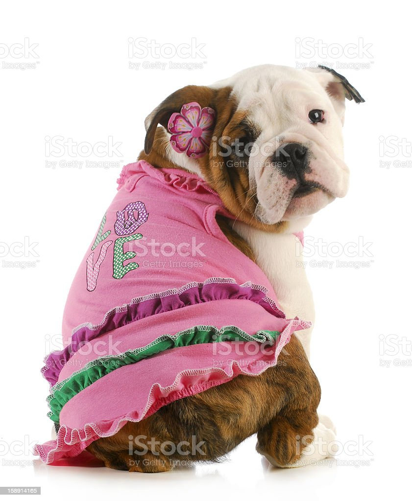 Cute dog wearing clothes saying love royalty-free stock photo