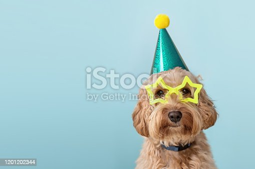Cute dog at a birthday party wearing party hat and star glasses
