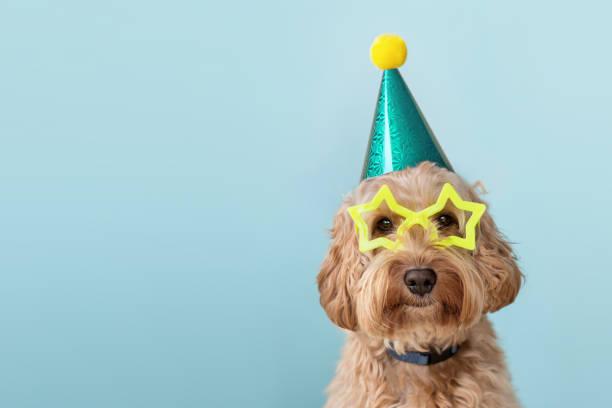 lindo perro usando sombrero de fiesta y gafas - fiesta fotografías e imágenes de stock