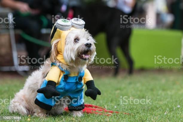Cute dog wears despicable me minion costume at doggy con picture id1093778594?b=1&k=6&m=1093778594&s=612x612&h=uchmcxfadlv6cnxuj ituizrmdufoc7iez c9mzekdg=