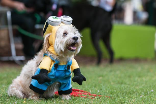 niedlichen hund trägt verächtlich mir minion kostüm bei doggy con - minion thema stock-fotos und bilder