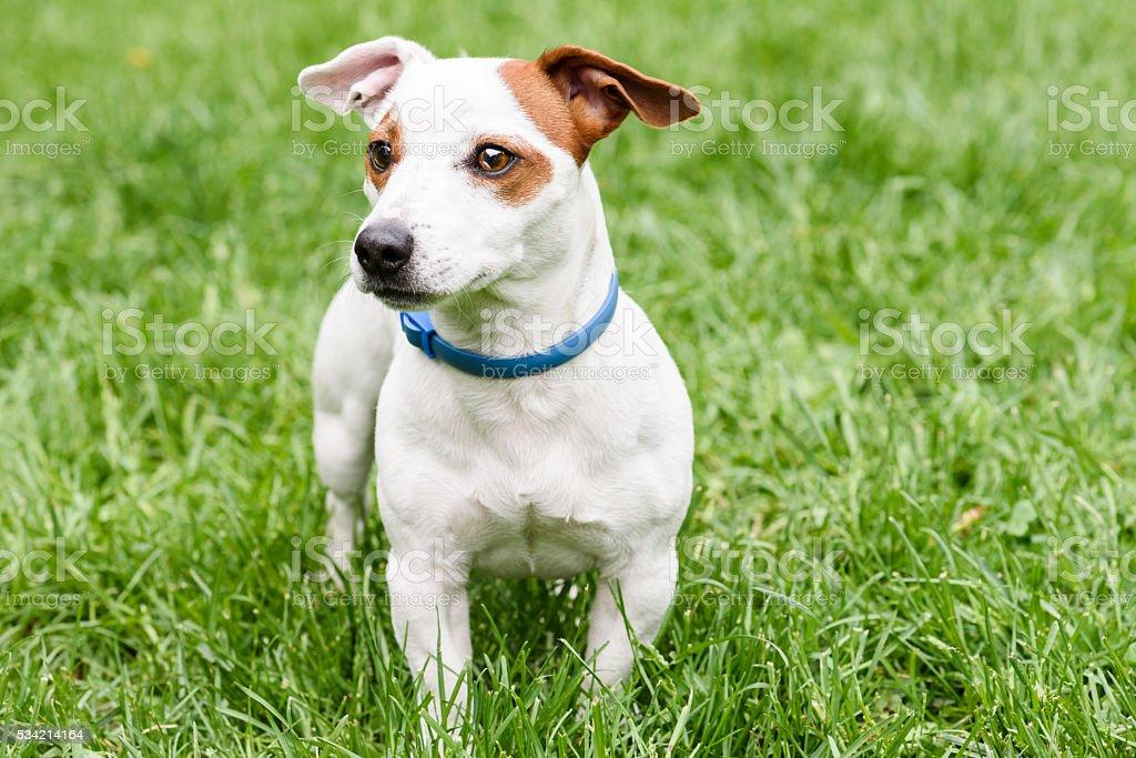 Cute dog with anti  tick and flea blue collar stock photo