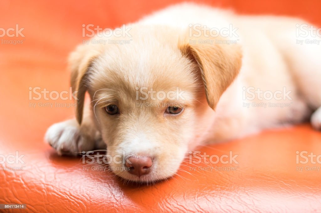 Cute dog with blue eyes royalty-free stock photo