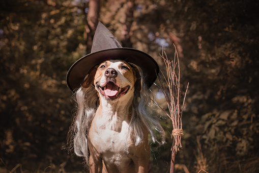 Beautiful staffordshire terrier puppy in masquerade costume with witch's broom in autumn forest