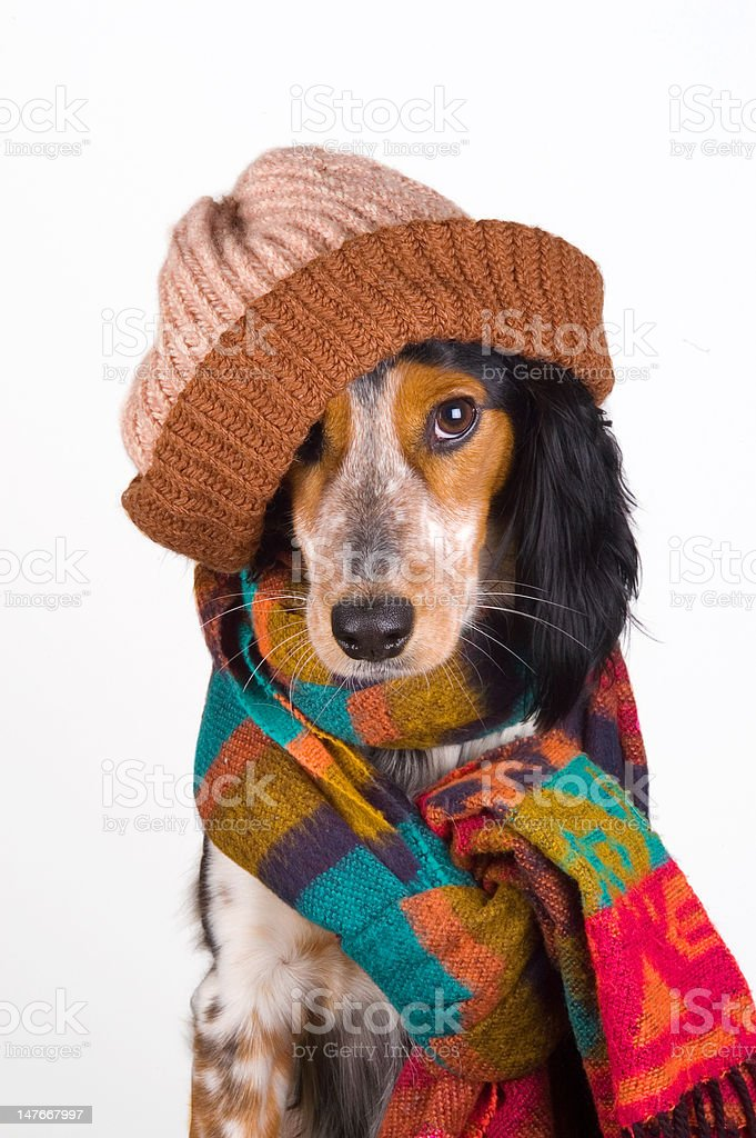 Cute dog with hat           (© Lobke Peers) royalty-free stock photo
