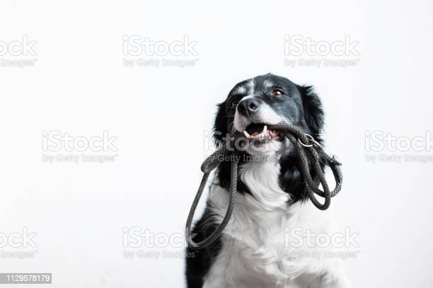 Cute dog with leash in mouth black and white border collie waiting on picture id1129578179?b=1&k=6&m=1129578179&s=612x612&h=nygbobnw0sfe0x4hz lo72a4nm d9os9m8a2zbpt 2a=