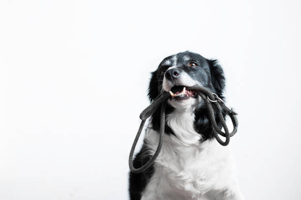 Cute dog with leash in mouth black and white border collie waiting on picture id1129578179?b=1&k=6&m=1129578179&s=612x612&w=0&h=otlvia9q6b8zm1kiobnuu0et0xpj5c92aa20gvmesi4=