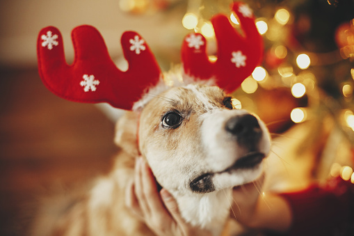 istock cute dog with reindeer antlers sitting on background of golden beautiful christmas tree with lights in festive room. doggy with adorable eyes at glowing illumination.  winter holidays 1035202034