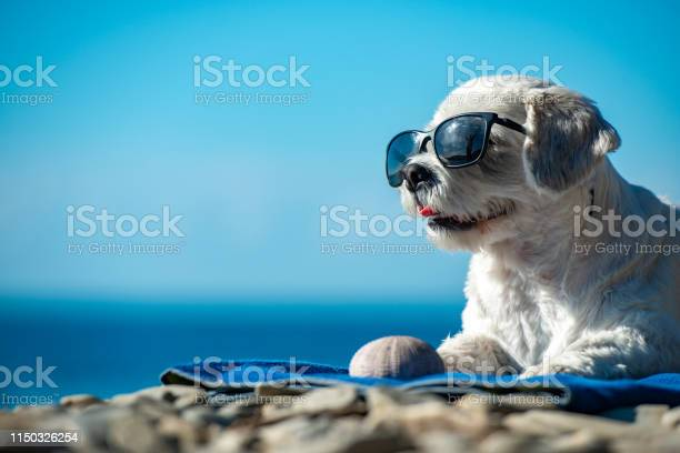 Cute dog with sunglasses relaxing on coastline picture id1150326254?b=1&k=6&m=1150326254&s=612x612&h=jeqafehpkcux2rzyrvu10bmes5xvhjol8tbxzmeufxw=