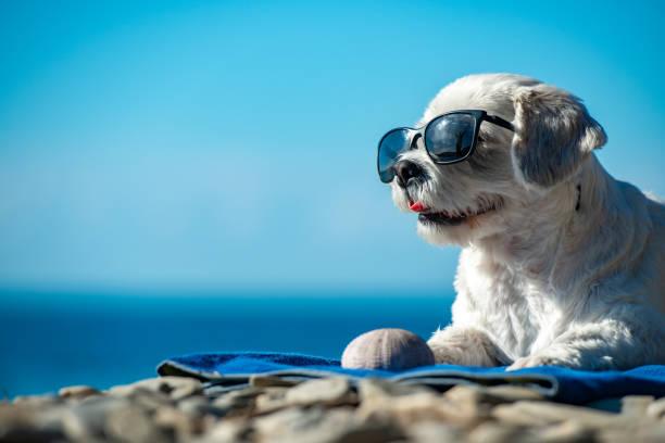 güneş gözlüğü ile sevimli köpek kıyı şeridinde rahatlatıcı - havalı tutum stok fotoğraflar ve resimler