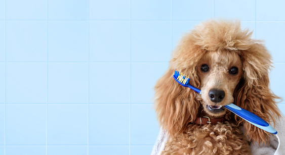 istock Cute dog with tooth brush on the bathroom. 871161902