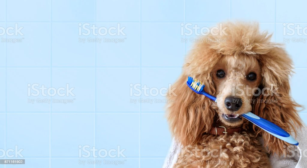 Cute dog with tooth brush on the bathroom. stock photo