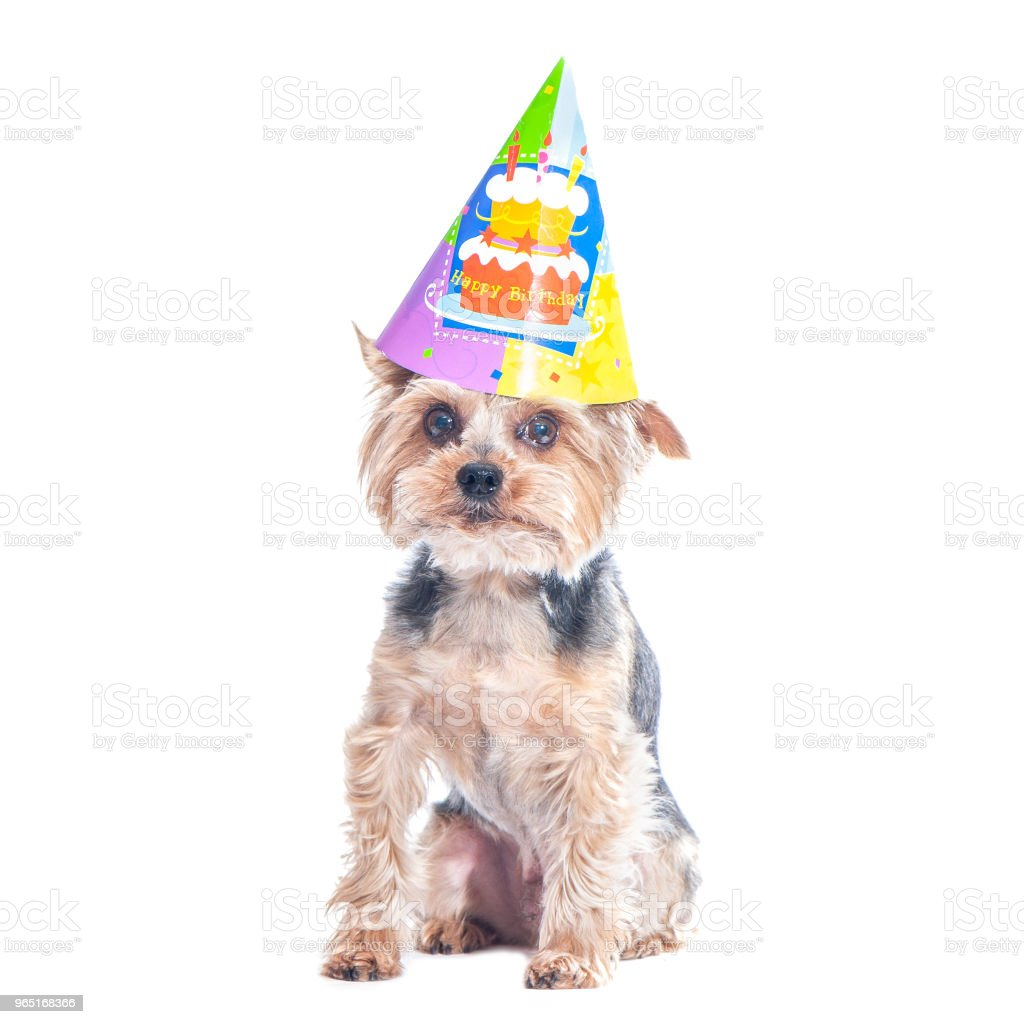Cute dog , yorkshire terrier  in carnival party hat  celebrating birthday royalty-free stock photo