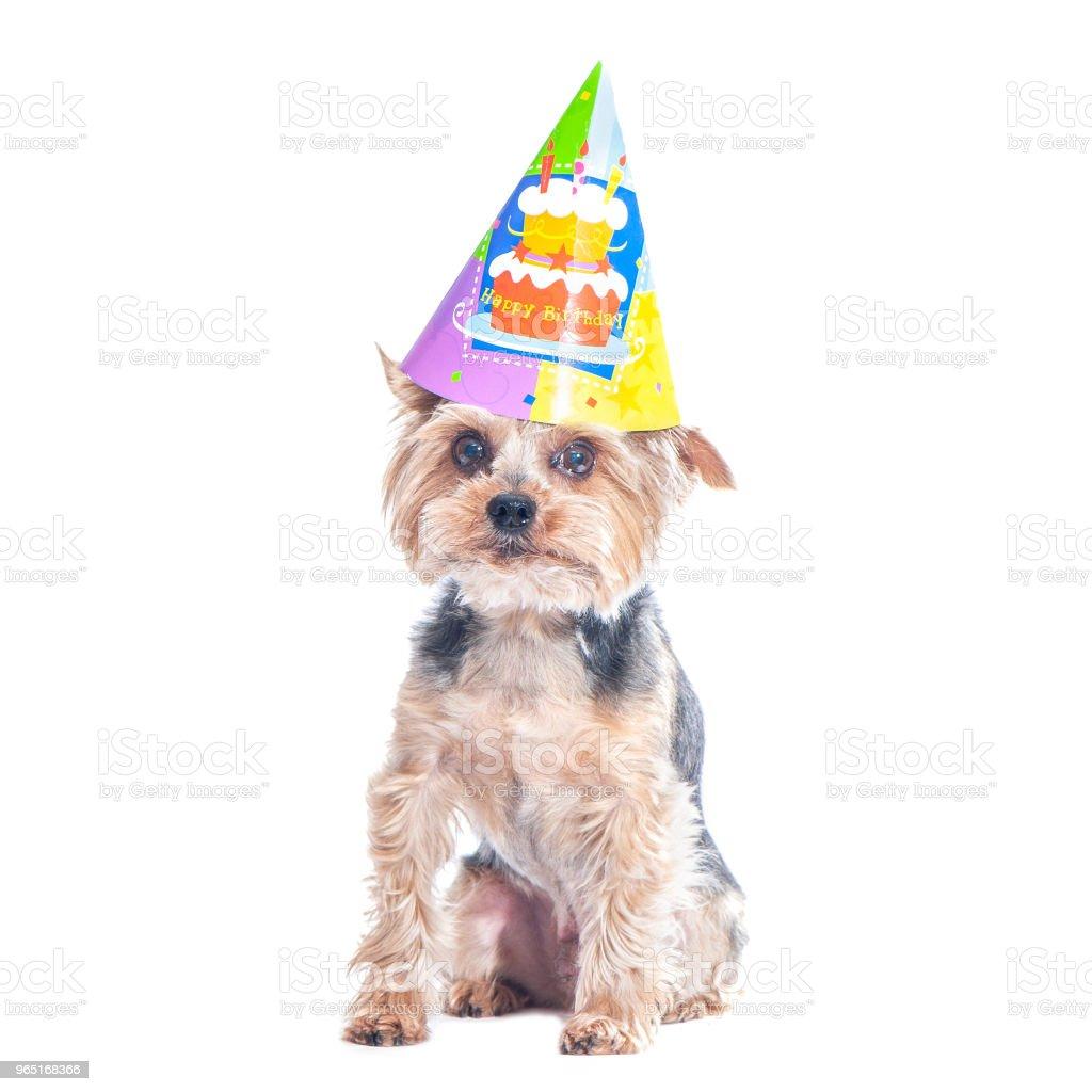 Cute dog , yorkshire terrier  in carnival party hat  celebrating birthday zbiór zdjęć royalty-free