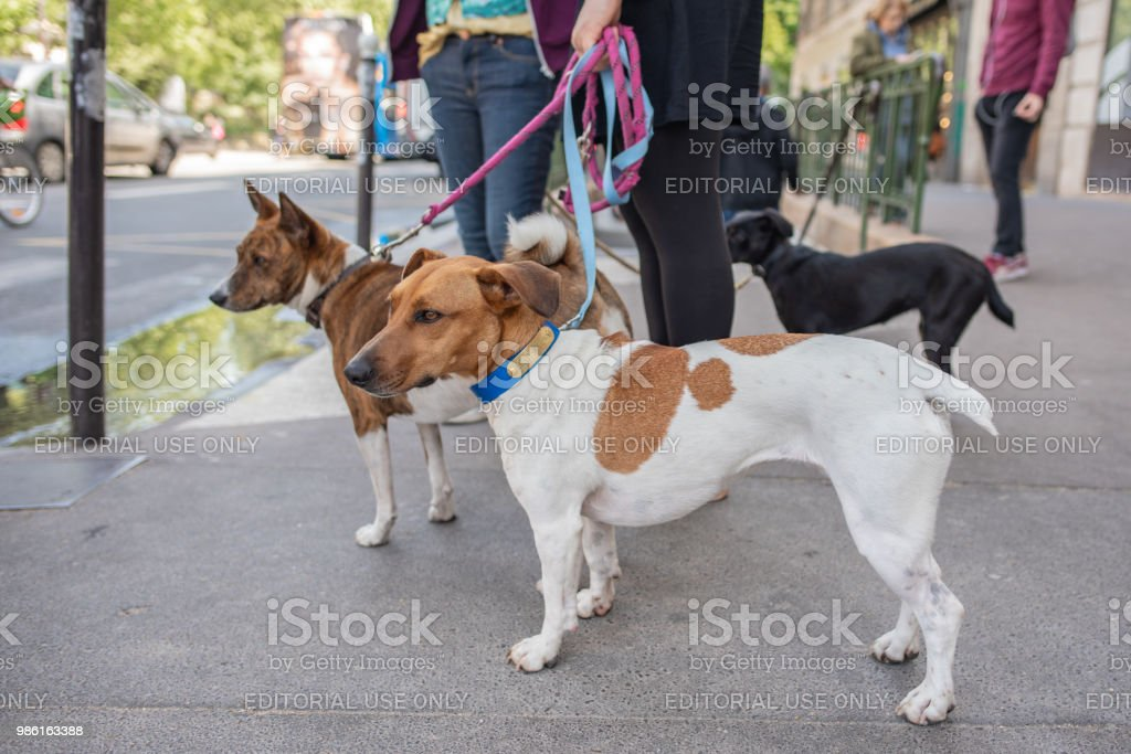 Cute dogs out for a walk in Saint-Germain des Pres in Paris stock photo
