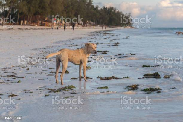 Cute dogs running on the coast animals of tanzania pets in zanzibar picture id1190412286?b=1&k=6&m=1190412286&s=612x612&h=rwo6hai3jbdmkyoo1evbqzzz8ir0zxws2riwes1qdte=