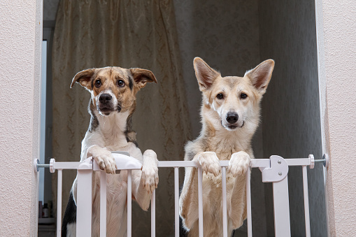 Adorable curious mongrel dogs standing on hind legs near safety gate in doorway at home