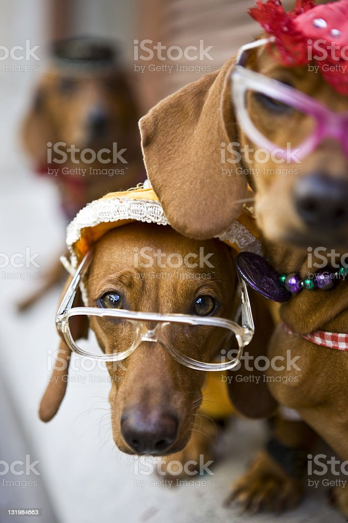 Cute dogs with eyeglasses royalty-free stock photo