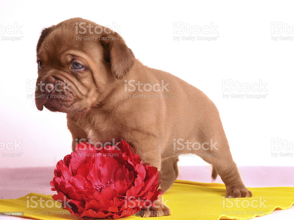Cute Dogue De Bordeaux puppy is stading near red flower royalty-free stock photo