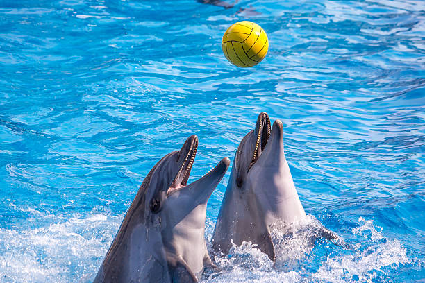 cute dolphins during a speech at the dolphinarium, batumi, geo - animals in captivity stock pictures, royalty-free photos & images