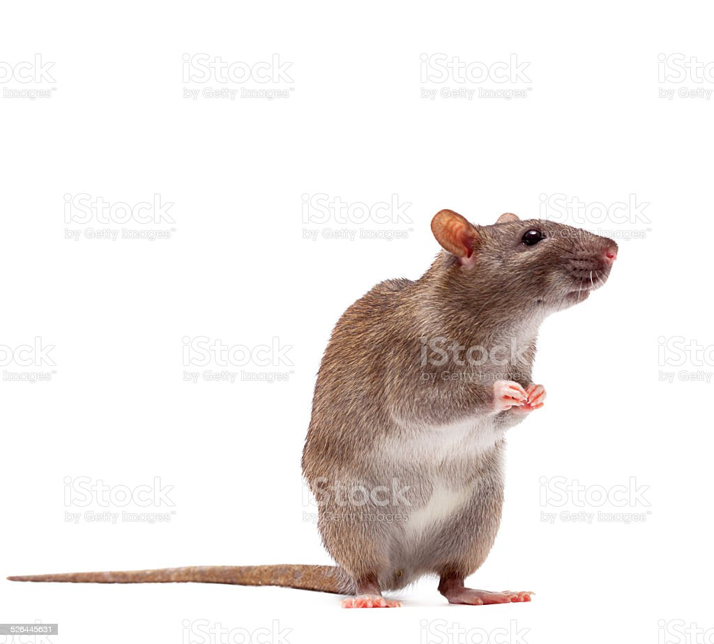 Cute domestic brown rat stock photo