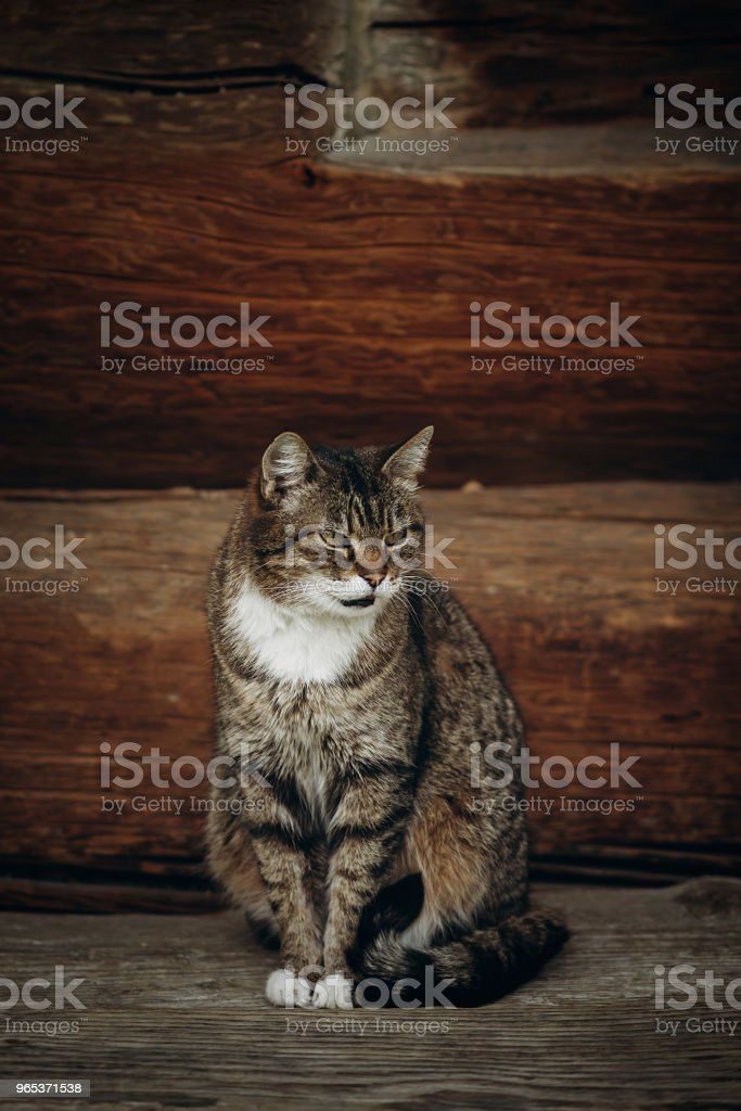 Cute domestic cat sitting on wooden floor near rustic slavic house, funny grey cat posing in countryside outdoors close-up, pet animal concept royalty-free stock photo