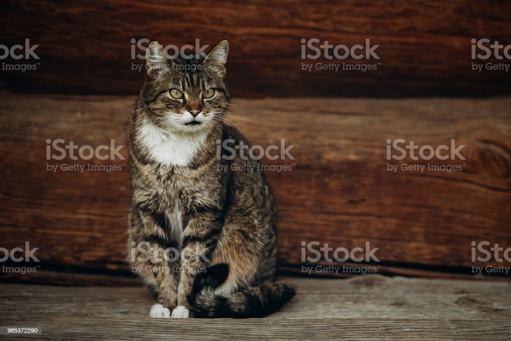 Cute domestic cat sitting on wooden floor near rustic slavic house, funny grey cat posing in countryside outdoors close-up, pet animal concept zbiór zdjęć royalty-free