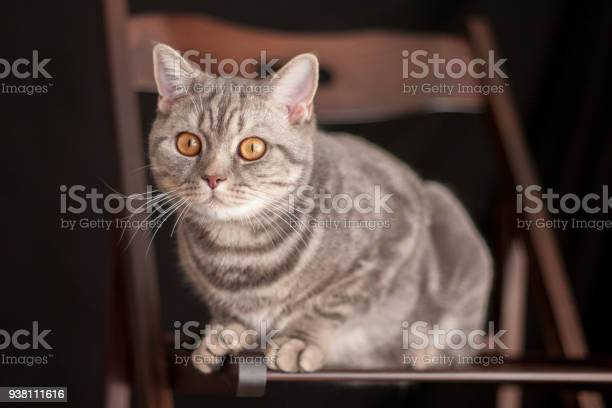 Cute domestic grey cat sitting on a brown chair picture id938111616?b=1&k=6&m=938111616&s=612x612&h=flca6ecq4yrac9wdpe9c6qcstrz0pnv0n8drkxbrois=