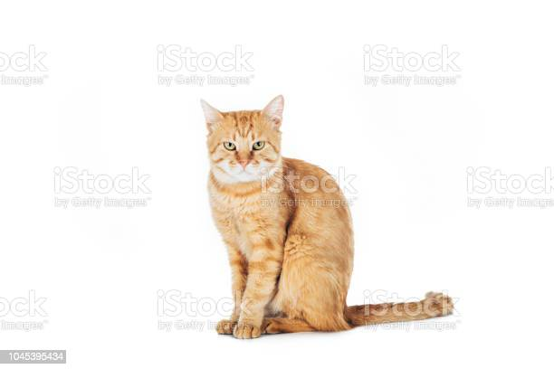 Cute domestic red cat sitting and looking at camera isolated on white picture id1045395434?b=1&k=6&m=1045395434&s=612x612&h=hm6ptaqdfynmhik7lgiqkin w3fnwd9uemunsong5ns=
