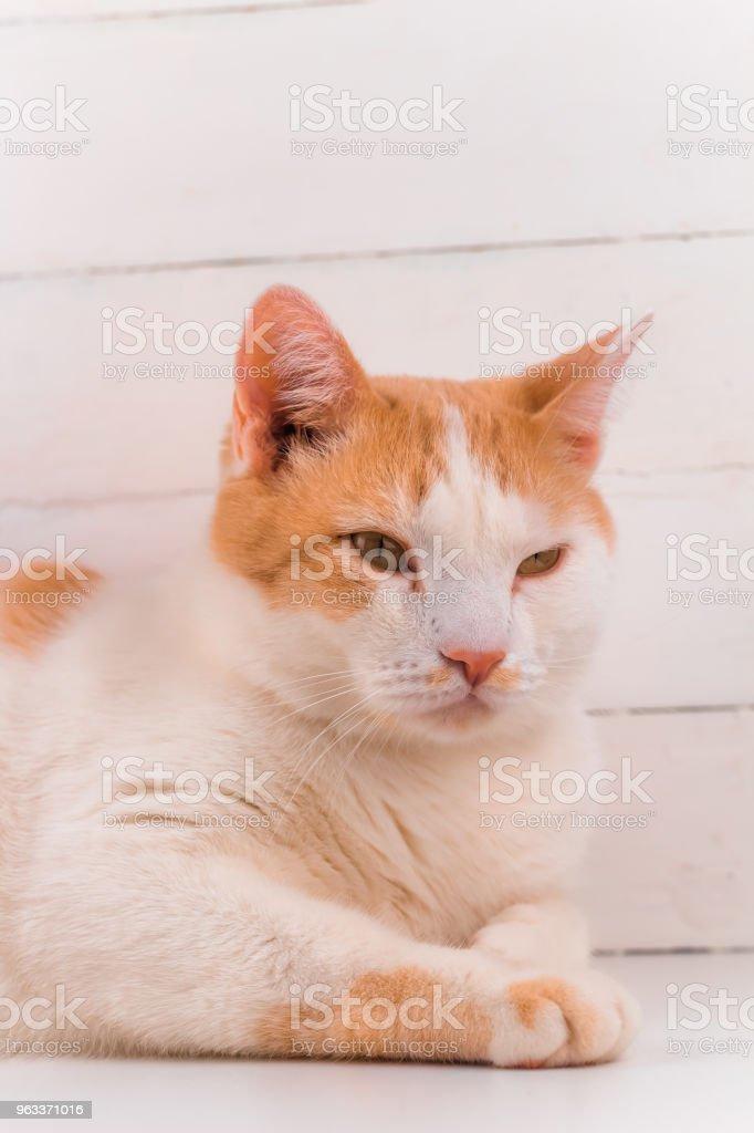 cute domestic white and orange cat portrait - Zbiór zdjęć royalty-free (Czerwony)