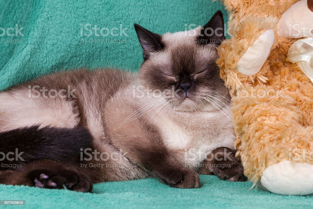 Cute dreaming siamese cat sleeping on green blanket stock photo