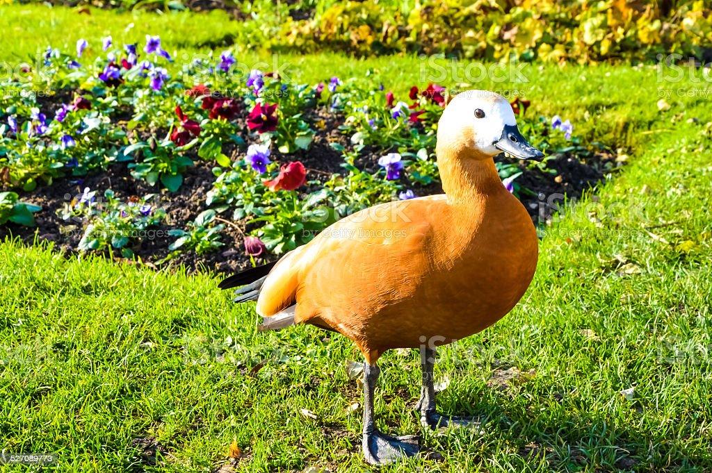 Cute duck in the garden stock photo