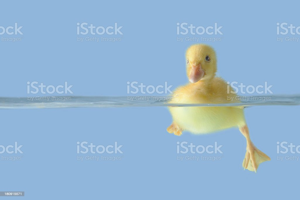 Cute duck on the water over blue background royalty-free stock photo