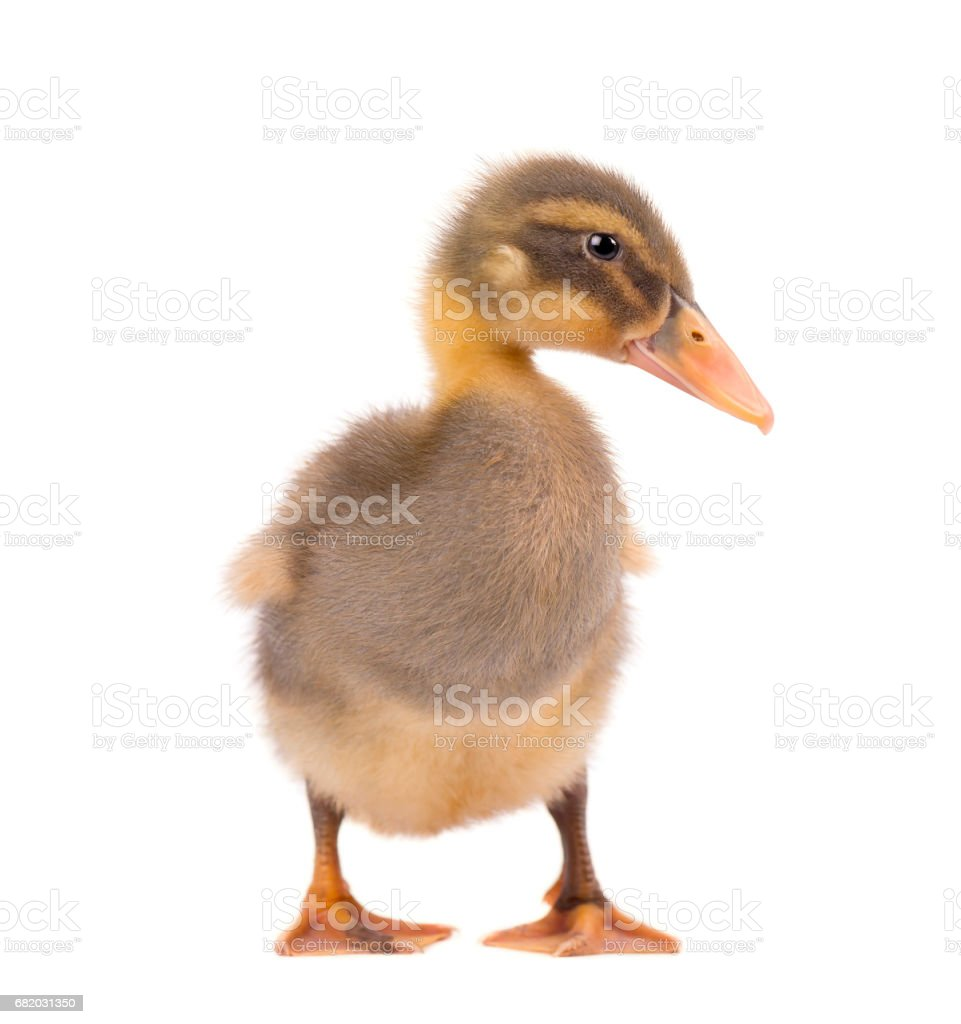 Cute duckling isolated on white background stock photo