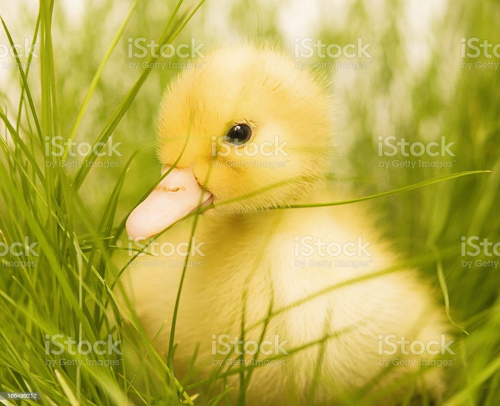 cute duckling royalty-free stock photo