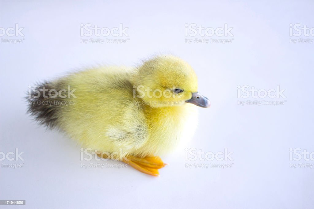 cute duckling stock photo