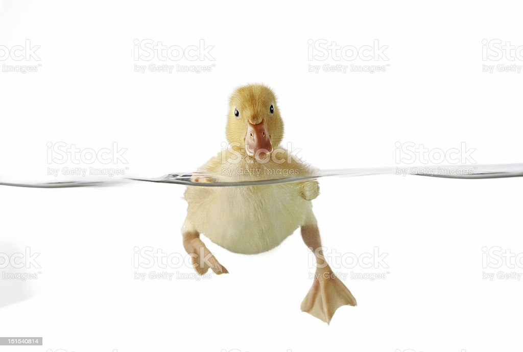 Cute duckling swimming in clear water, front view stock photo